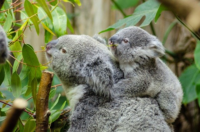 female-koala-and-her-baby-1332217_640|